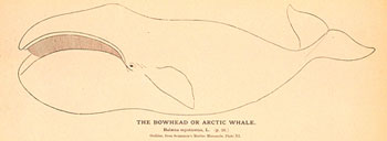 image of bowhead_noaa